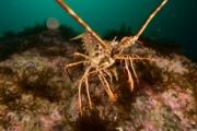 Valentia crayfish